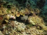 Roatan_rockfish.jpg
